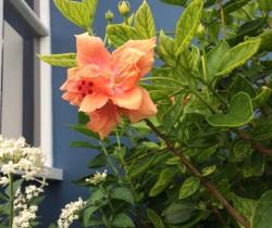 Bermuda Blossom 2016