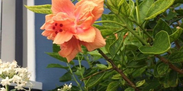 The Many Global Flavors of Hibiscus